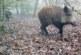 La amenaza de la Peste Porcina Africana regresa como una posibilidad latente