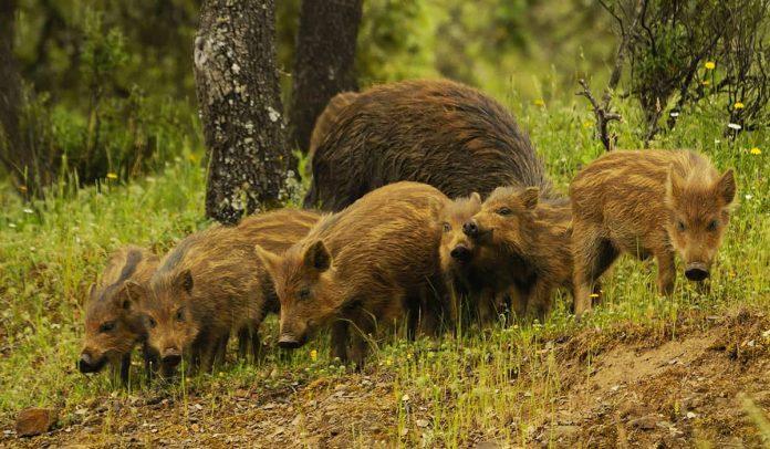 Análisis de los escenarios de sobreabundancia de ungulados silvestres en Europa