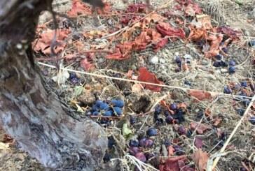 Los estragos del jabalí en la Ribeira Sacra: si no hay uvas tira bancales