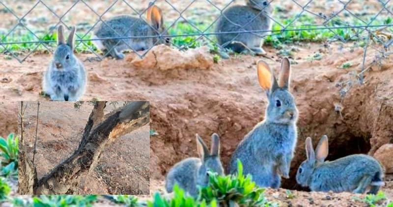 """Ecologistas apuestan """"vallar los campos y técnicas con ultrasonidos"""" para evitar daños de los conejos"""