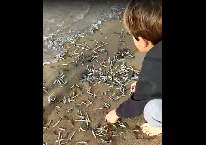 Avalancha de anchoas en las playas del cantábrico