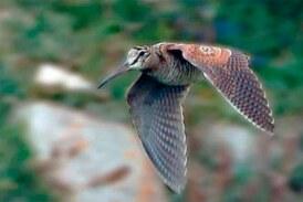 La Caza de la Becada, caza sin muerte