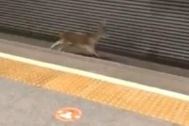 Un macho montes corre por las vías del metro en Valencia y deja atónitos a los viajeros en una estación