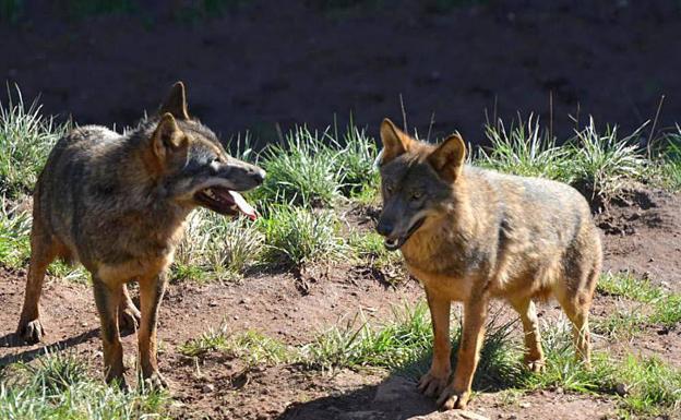 Pese a las denuncias ecologistas, la fiscalía aprueba extraer lobos en Cantabria