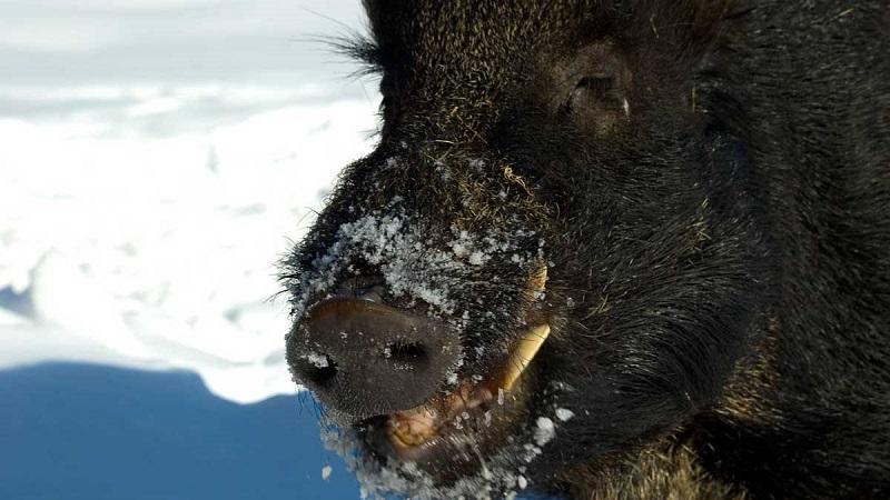 La RFEC y AESAN lanzan una campaña de prevención de la triquinosis en carne de jabalí para autoconsumo