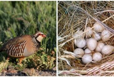 ¿Cuál es el efecto de los productos fitosanitarios sobre los huevos de perdiz roja?