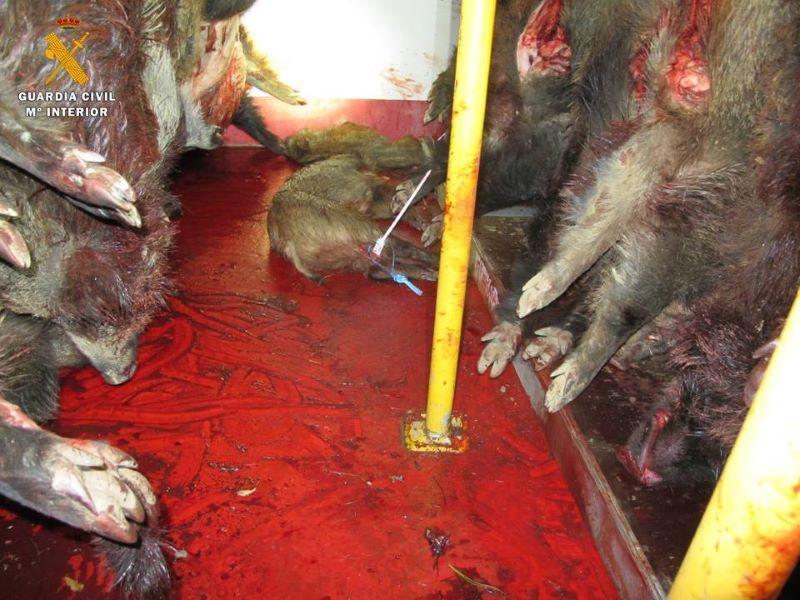 Denunciados 17 cazadores que hacían batidas pese al confinamiento y transportaban carne de jabalí no apta para el consumo