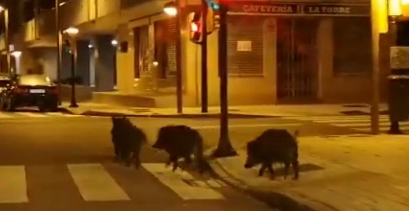 Los jabalíes aprovechan el toque de queda y conquistan la ciudad