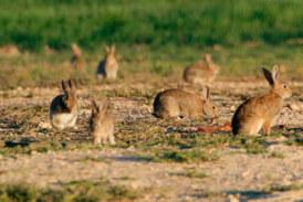 Una plaga de conejos arrasa un complejo deportivo de Ciudad Real