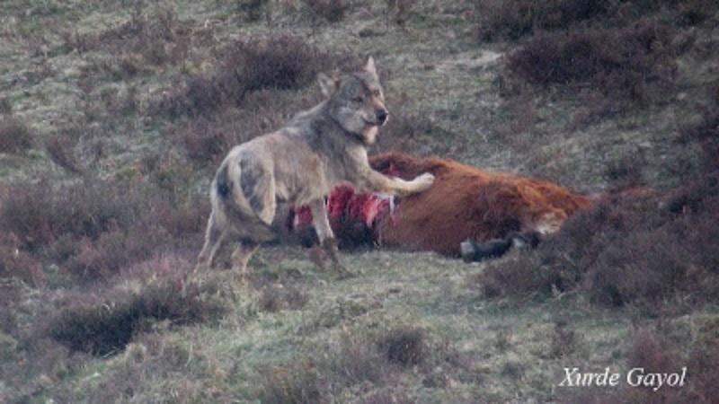 Los numerosos ataques de lobos hacen que las reses embistan contra los ganaderos