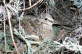 ¿Son adecuadas las restricciones para la caza de becadas durante olas de frío?
