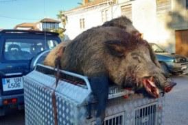 Cazan un tremendo jabalí de 160 kilos