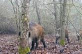La caza puede desactivar la 'bomba de relojería' que supone el aumento de poblaciones de jabalíes