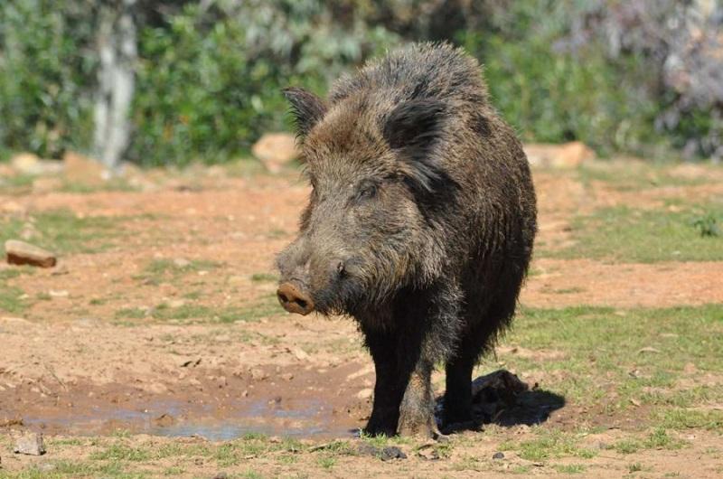 El 2021 inicia con 433 focos de peste porcina africana en jabalíes en la Unión Europea