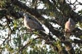 Un informe de Fundación Artemisan avala que la gestión de la tórtola debe dar cabida a la caza sostenible