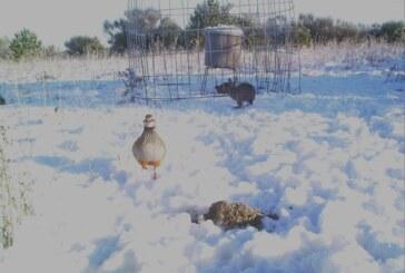 Temporal de nieve. El aporte de alimentación suplementaria es una alternativa para evitar la selección natural