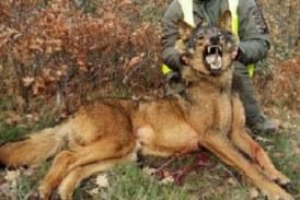 Abatidos 24 lobos en 15 meses, el 57% del máximo autorizado en Asturias