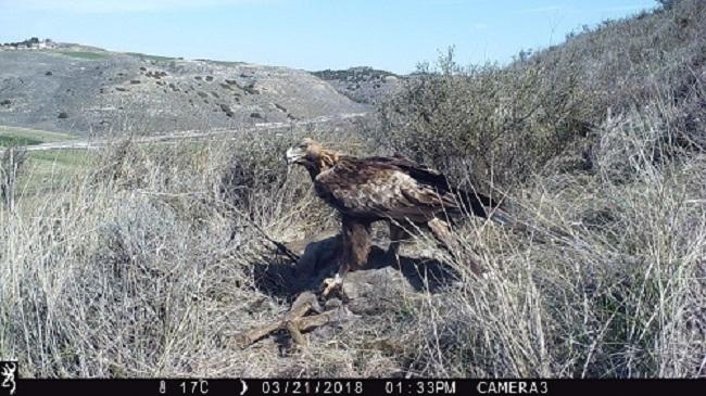 Un proyecto concluye que el águila real regula la población de corzos del Pirineo de Lleida