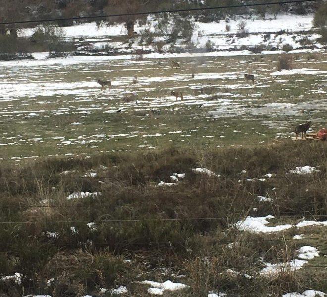Una manada de una decena de lobos mata a un vaca en La Cabrera