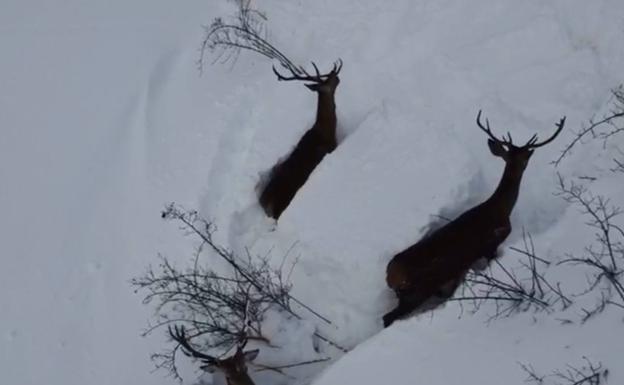 Video  / Una manada de ciervos se abre paso ante la gran nevada en León
