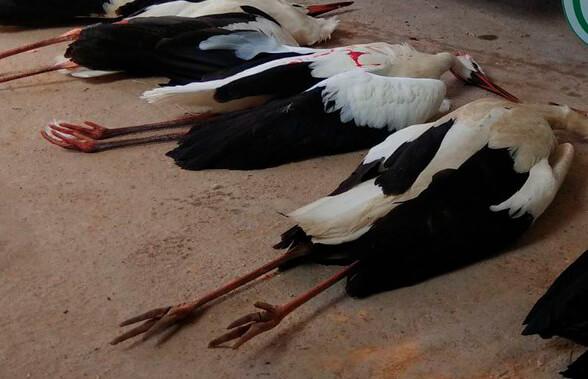 Nuevo caso de gripe aviar en España con cuatro animales muertos, tres cigüeñas y una oca salvaje en el Parque Natural del Empordà