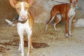 Roban 17 perros de caza y los dejan atados en varios puntos de Ciutadella