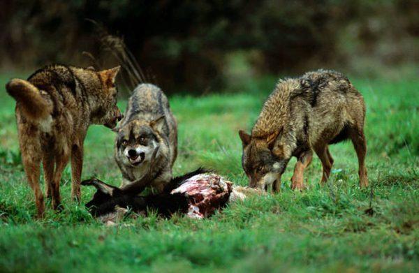 Las CCAA y el Gobierno abandonan al mundo rural frente al lobo