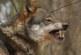 La prohibición de la caza del lobo puede resultar contraproducente para su gestión
