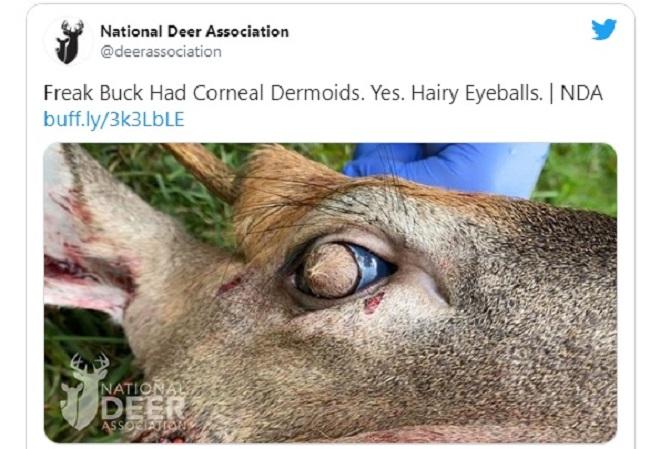 Hallan un ciervo con abundante pelo en sus globos oculares debido a una rara condición
