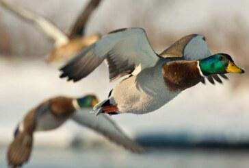 La gripe aviar desata otra alerta sanitaria en plena pandemia de coronavirus