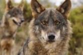 Fundación Artemisan pone a disposición de los interesados alegaciones contra la inclusión del lobo en el LESPRE