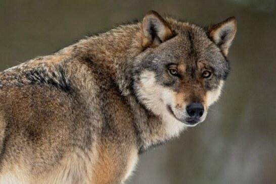 Lobo, la mayor traición al mundo rural