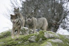 La RFEC rechaza la propuesta del MITECO de blindar al lobo