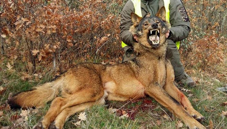 Arrecal rechaza la sobreprotección del lobo por criterios ideológicos
