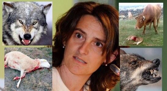 La RFEC apoyará y secundará las reivindicaciones de las organizaciones agrarias ante el desprecio del MITECO a los ganaderos por blindar el lobo