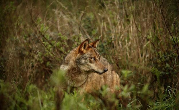 Álava sumó 47 ataques de lobo en 2020