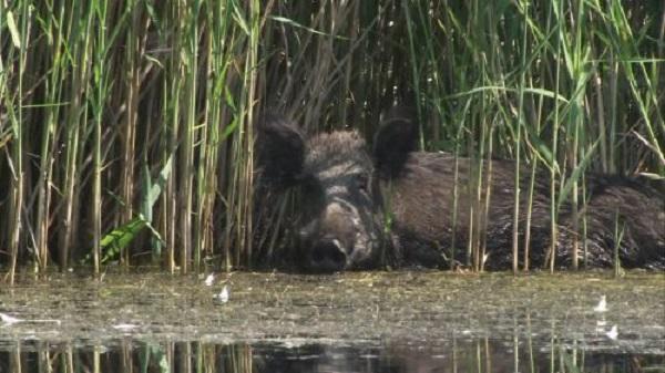El aumento de la población de jabalíes amenaza la biodiversidad de las Tablas de Daimiel