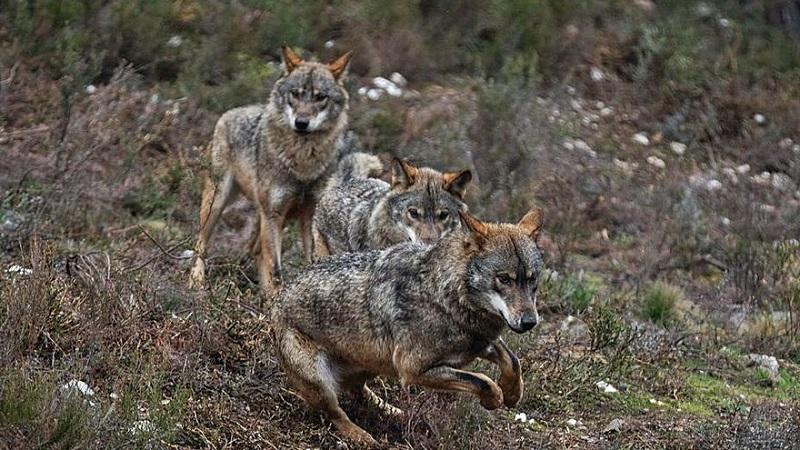 Los culpables de la muerte del lobo