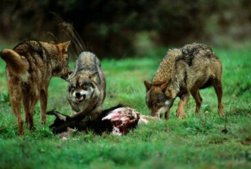 Fundación Artemisan advierte que las bases para la elaboración de la estrategia de conservación del lobo del MITERD abren las puertas a traslocaciones