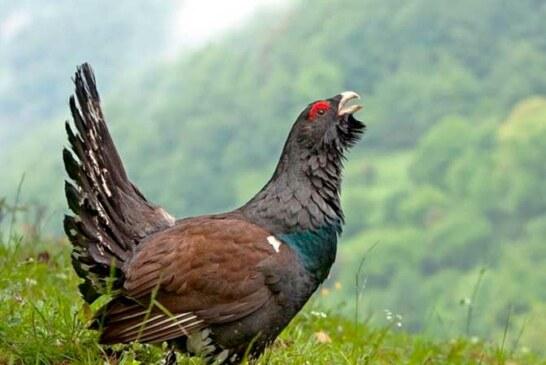 El gallo del monte
