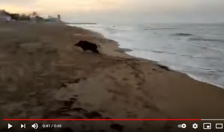 Un jabalí se da un chapuzón en la playa de Denia ante el asombro de los paseantes