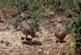 ¿Qué factores influyen en la reproducción de la perdiz roja silvestre?