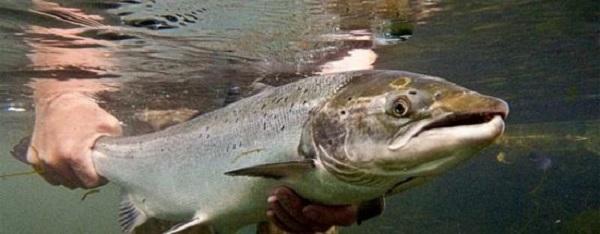 El torpedo de los ríos, un pez de ida y vuelta