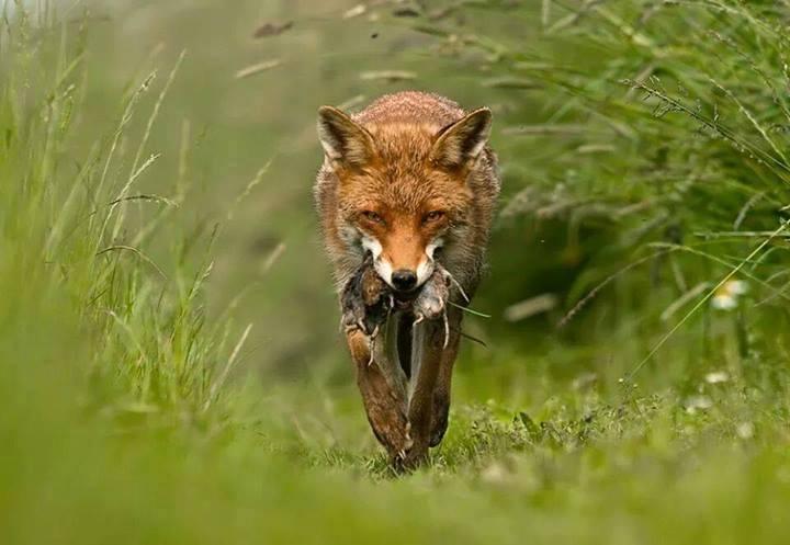 El zorro, especie cinegética