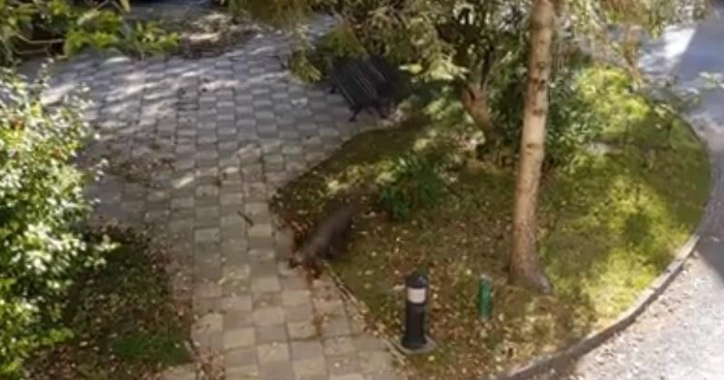 Un jabalí se cuela en el recinto del geriátrico Mi Casa, en el centro urbano de Ferrol