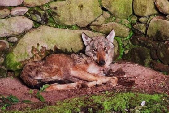 Los lobos ya entran a casas habitadas en Galicia