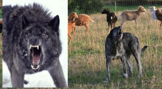 El Gobierno paraliza la declaración del lobo como especie protegida
