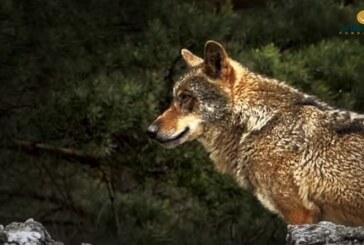 Fundación Artemisan estrena la primera parte del documental 'Lobos y furtivos, la amenaza de Gredos'