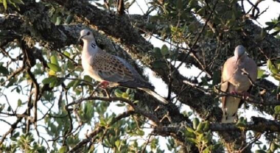 La RFEC presenta al Ministerio de Agricultura un plan de caza sostenible de la tórtola para esta temporada