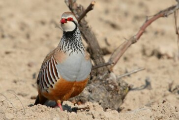 La RFEC denuncia que Europa ya ha iniciado el proceso para intentar prohibir la caza de la perdiz roja en España